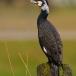 aalscholver-cormorant-05