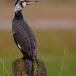 aalscholver-cormorant-06