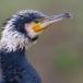 aalscholver-cormorant-10