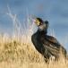 aalscholver-cormorant-11