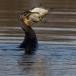 aalscholver-cormorant-12