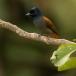 afrikaanse-paradijsmonarch-african-paradise-flycatcher-01