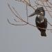 afrikaanse-reuzenijsvogel-giant-kingfisher-01