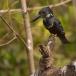 afrikaanse-reuzenijsvogel-giant-kingfisher-02