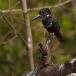 afrikaanse-reuzenijsvogel-giant-kingfisher-03