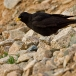 alpenkauw-alpine-chough-01