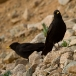alpenkauw-alpine-chough-02