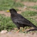 alpenkauw-alpine-chough-03