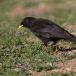 alpenkauw-alpine-chough-04