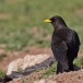 alpenkauw-alpine-chough-05