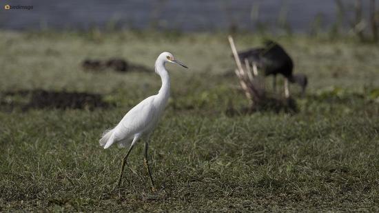 Amerikaanse kleine zilverreiger - Snowy egret 002