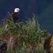 amerikaanse-zeearend-bald-eagle02