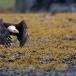 amerikaanse-zeearend-bald-eagle05