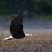 amerikaanse-zeearend-bald-eagle06