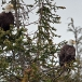 amerikaanse-zeearend-bald-eagle08
