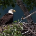 amerikaanse-zeearend-bald-eagle10