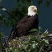 amerikaanse-zeearend-bald-eagle13