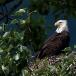 amerikaanse-zeearend-bald-eagle14