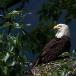 amerikaanse-zeearend-bald-eagle15