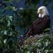 amerikaanse-zeearend-bald-eagle16