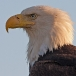 amerikaanse-zeearend-bald-eagle18