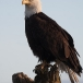 amerikaanse-zeearend-bald-eagle19