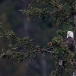 amerikaanse-zeearend-bald-eagle22