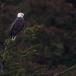 amerikaanse-zeearend-bald-eagle26