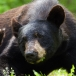 amerikaanse-zwarte-beer-american-black-bear-01