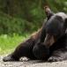 amerikaanse-zwarte-beer-american-black-bear-03