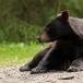 amerikaanse-zwarte-beer-american-black-bear-04