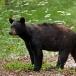 amerikaanse-zwarte-beer-american-black-bear-05