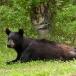 amerikaanse-zwarte-beer-american-black-bear-06