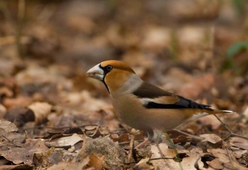 appelvink-hawfinch-04