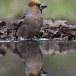 Appelvink-Hawfinch-13