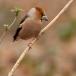 appelvink-hawfinch-01