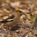 appelvink-hawfinch-05