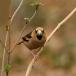 appelvink-hawfinch-06