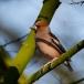 appelvink-hawfinch-07