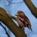 appelvink-hawfinch-09