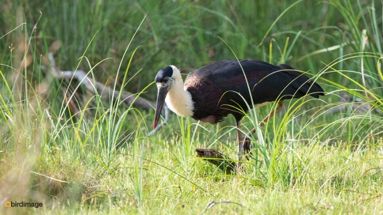 Bisschopsooievaar-Woolly-necked-stork-01