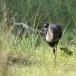 Bisschopsooievaar-Woolly-necked-stork-02