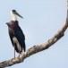 Bisschopsooievaar-Woolly-necked-stork-03