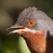 baardgrasmus-subalpine-warbler-02