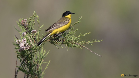 Balkankwikstaart - Black-headed Wagtail 06