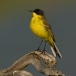balkankwikstaart-black-headed-wagtail-03