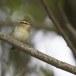 Bladkoning-Yellow-browed-warbler-01