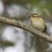 Bladkoning-Yellow-browed-warbler-02