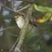Bladkoning-Yellow-browed-warbler-03