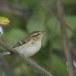 Bladkoning-Yellow-browed-warbler-04